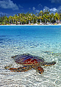Bora bora le m ridien tortue marine sea turtle for Rangiroa urlaub