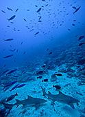 Lemon shark zitronenhai requin citron ralok citronov negaprion - Rangiroa urlaub ...