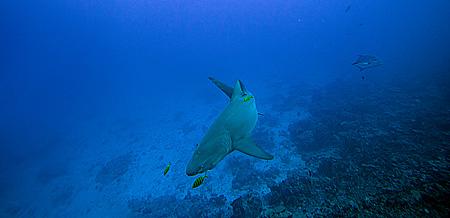 Lemon shark zitronenhai requin citron ralok for Rangiroa urlaub