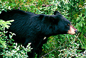 Canada, Black Bears Jasper National Park Photo Nr.: can017