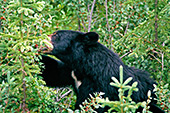 Canada, Black Bears Jasper National Park Photo Nr.: can018