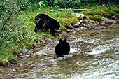 Canada, Black Bears Jasper National Park Photo Nr.: can020