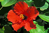 haw014_Hawaii_Flower.jpg, 20kB