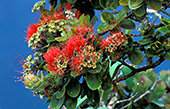 haw015_Hawaii_Flower.jpg, 24kB