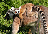 Vienna, Zoo, Lemuren, Ring Tailed Lemur, Katta, Photo Nr.: W4482