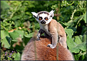 Vienna, Zoo, Lemuren, Ring Tailed Lemur, Photo Nr.: W4483