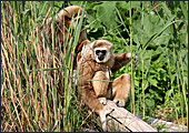 Vienna, Zoo, White - handed gibbon, Photo Nr.: W4504
