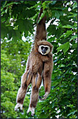 Vienna, Zoo, White - handed gibbon, Photo Nr.: W4505