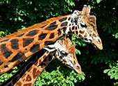 Vienna, Zoo, Giraffe, Photo Nr.: W4533