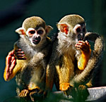 Vienna, Zoo, Squirrel Monkey, Totenkopfaffe, Photo Nr.: W4534