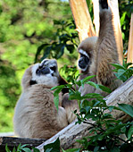 Vienna, Zoo, White - handed gibbon, Photo Nr.: W4535