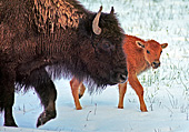 Yellowstone National Park, Bisons, Photo Nr.: y014