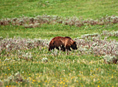 Yellowstone National Park, Grizzly Bear, Photo Nr.: y064