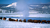 Yellowstone National Park, Bisons, Photo Nr.: y092