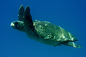 zak187_Caretta_Loggerhead_Sea_Turtle.jpg, 9,3kB