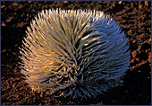 Hawaii, Island Maui, Haleakala National Park, Silversword-Ahinahina (Silberschwert) Photo Nr.: haw090