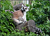 Vienna, Zoo, Lemuren, Ring Tailed Lemur, Photo Nr.: W4485