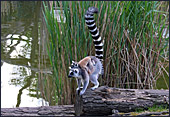 Vienna, Zoo, Lemuren, Ring Tailed Lemur, Photo Nr.: W4486