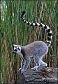 Vienna, Zoo, Lemuren, Ring Tailed Lemur, Photo Nr.: W4487