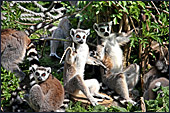 Vienna, Zoo, Lemuren, Ring Tailed Lemur, Photo Nr.: W4489