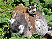 Vienna, Zoo, Lemuren, Ring Tailed Lemur, Photo Nr.: W4490