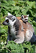 Vienna, Zoo, Lemuren, Ring Tailed Lemur, Photo Nr.: W4492