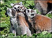 Vienna, Zoo, Lemuren, Ring Tailed Lemur, Photo Nr.: W4494