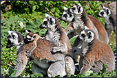 Vienna, Zoo, Lemuren, Ring Tailed Lemur, Photo Nr.: W4495