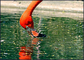 Vienna, Zoo, Flamingo, Photo Nr.: W4496