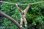 Vienna, Zoo, White - handed gibbon, Photo Nr.: W4506