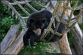 Vienna, Zoo, Spectacled Bear, Brillenbär, Photo Nr.: W4508