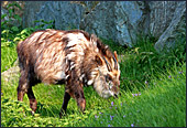 Vienna, Zoo, Serow, Japanischer Serau, Photo Nr.: W4510