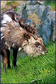 Vienna, Zoo, Serow, Japanischer Serau, Photo Nr.: W4511