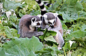 Vienna, Zoo, Lemuren, Ring Tailed Lemur, Photo Nr.: W4526