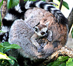 Vienna, Zoo, Lemuren, Ring Tailed Lemur, Photo Nr.: W4529