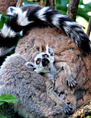 Vienna, Zoo, Lemuren, Ring Tailed Lemur, Photo Nr.: W4530