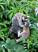 Vienna, Zoo, Lemuren, Ring Tailed Lemur, Photo Nr.: W4531