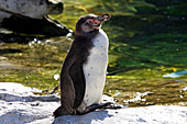 Vienna, Zoo, Peruvian Penguin, Humboldt Pinguin, Photo Nr.: W4541