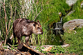 Vienna, Zoo, Serow, Japanischer Serau, Photo Nr.: W4544