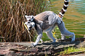 Vienna, Zoo, Lemuren, Ring Tailed Lemur, Photo Nr.: W4660