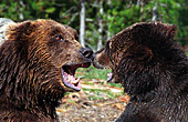 Yellowstone National Park, Brown Bears, Photo Nr.: y013