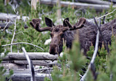 Yellowstone National Park, Moose, Photo Nr.: y015