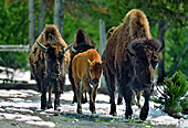 Yellowstone National Park, Bisons, Photo Nr.: y028