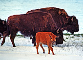 Yellowstone National Park, Bisons, Photo Nr.: y030