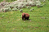 Yellowstone National Park, Grizzly Bear, Photo Nr.: y060