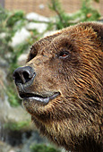 Yellowstone National Park, Brown Bears, Photo Nr.: y061