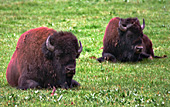 Yellowstone National Park, Bisons, Photo Nr.: y101
